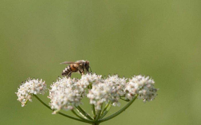 Nebena tut sich eine Biene gütlich.