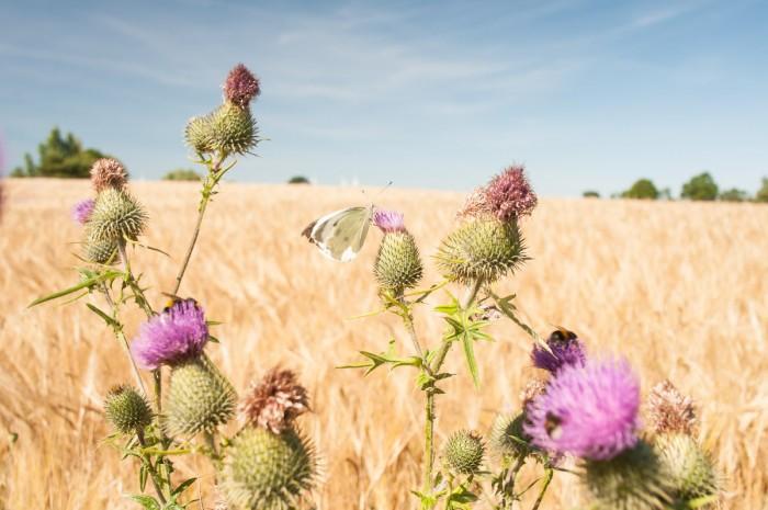 Erntezeit ist schließlich auch für die Insekten.