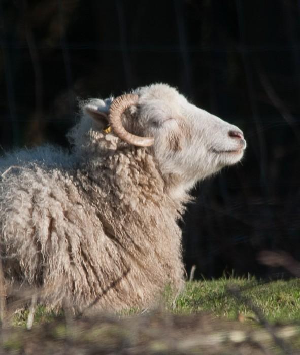 Und zum Schluss: Schaf beim Sonnenbad.